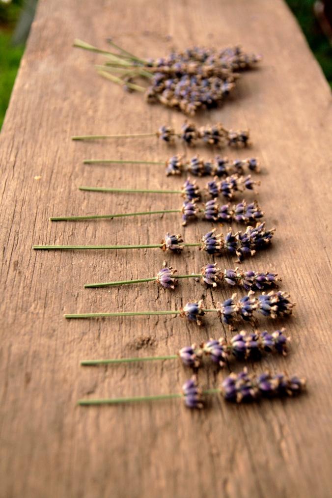 Lavendel_7917