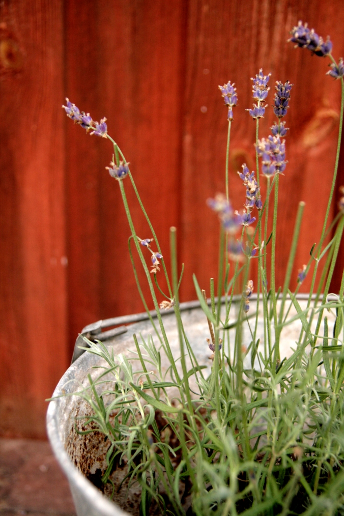 Lavendel_7924